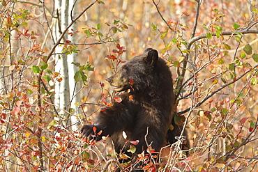 Cinnamon black bear (Ursus americanus) climbs a tree in search of autumn (fall) berries, Grand Teton National Park, Wyoming, United States of America, North America