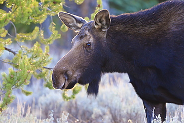 Backlit moose (Alces alces) cow in profile, Grand Teton National Park, Wyoming, United States of America, North America