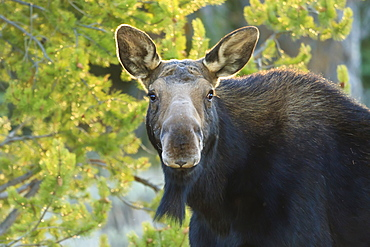 Backlit moose (Alces alces) cow stares at camera in evening light, Grand Teton National Park, Wyoming, United States of America, North America