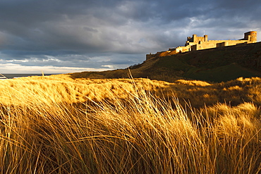 Bamburgh Castle and marram grass (ammophila arenaria) lit by golden evening light, Bamburgh, Northumberland, England, United Kingdom, Europe