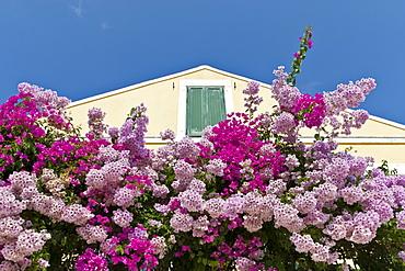 Bougainvillea and yellow building with green shutters against blue sky, Fiskardo, Kefalonia (Cephalonia), Ionian Islands, Greece