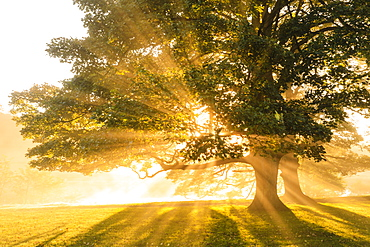 Rays of sun shine through autumn (fall) mist, backlighting a copse of trees, Chatsworth Park, Chesterfield, Derbyshire, England, United Kingdom, Europe