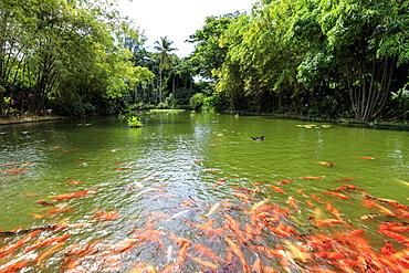 Water lilies pond with many koi carp, Jardin Botanique de Deshaies, botanic garden, Deshaies, Basse Terre, Guadeloupe, Leeward Islands, West Indies, Caribbean, Central America