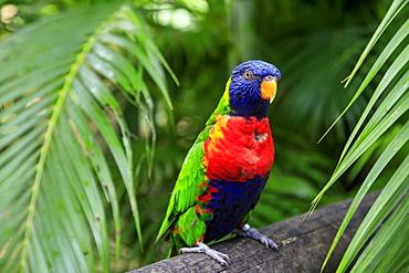 Colourful Coconut lorikeet (Trichoglossus haematodus), Deshaies Botanic Garden, Basse Terre, Guadeloupe, Leeward Islands, West Indies, Caribbean, Central America