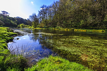 River weed and marsh marigolds (Caltha Palustris) of Lathkill Dale in spring, Peak District National Park, Derbyshire, England, United Kingdom, Europe