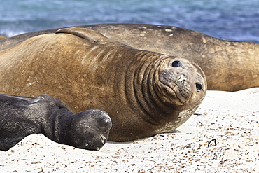 New born southern elephant seal (Mirounga leonina) pup with mother, Sea Lion Island, Falkland Islands, South America
