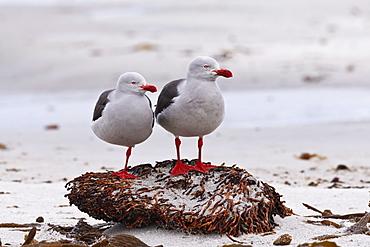 Pair of Dolphin gulls (Leucophaeus scoresbii) on a seaweed covered rock, Sea Lion Island, Falkland Islands, South America