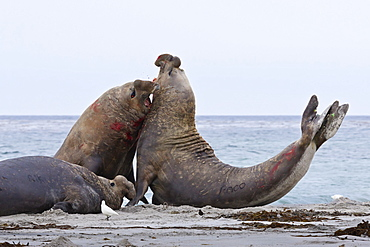 Two southern elephant seal (Mirounga leonina) bulls rear up and attack to establish dominance, Sea Lion Island, Falkland Islands, South America
