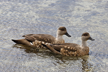Pair of Patagonian crested ducks (Lophonetta specularioides) in courtship behaviour, the Neck, Saunders Island, Falkland Islands, South America