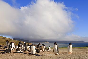 Gentoo penguins (Pygoscelis papua) breeding colony, the Neck, Saunders Island, Falkland Islands, South America