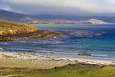Gentoo penguins (Pygoscelis papua) on beach with mountains shrouded in low cloud, the Neck, Saunders Island, Falkland Islands, South America