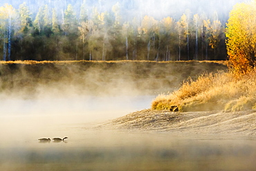 Wildfowl on Snake River surrounded by a cold dawn mist, autumn (fall), Grand Teton National Park, Wyoming, United States of America, North America