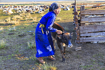 Lady wearing headscarf and blue deel handles calf, distant gers, at dawnin summer, Nomad camp, Gurvanbulag, Bulgan, Mongolia, Central Asia, Asia