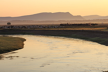 River, gers and herd of goats, sheep and cows with stock pen, misty dawn in summer, Nomad camp, Gurvanbulag, Bulgan, Mongolia, Central Asia, Asia
