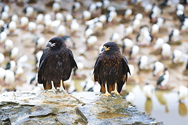 Two wet striated caracara (Phalcoboenus australis) in front of a colony of king cormorants, Sea Lion Island, Falkland Islands, South America