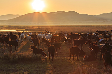 River, ger and backlit herd of goats and sheep at sunrise in summer, with distant mist, Nomad camp, Gurvanbulag, Bulgan, Mongolia, Central Asia, Asia
