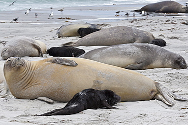 New born southern elephant seal (Mirounga leonina) pups and mothers on a beach, Sea Lion Island, Falkland Islands, South America