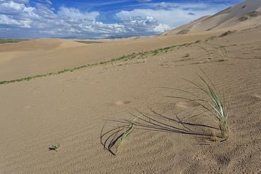 Plant growing on huge sand dunes on a summer evening, Khongoryn Els, Gobi Desert, Mongolia, Central Asia, Asia
