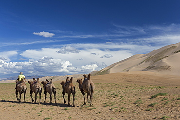 Bactrian camel train along base of huge sand dunes, blue skies on a summer evening, Khongoryn Els, Gobi Desert, Mongolia, Central Asia, Asia