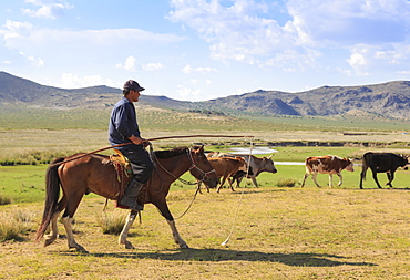 Mounted nomad herds cows in summer, holding uurga, Khogno Khan Uul Nature Reserve, Gurvanbulag, Bulgan province, Northern Mongolia, Central Asia, Asia