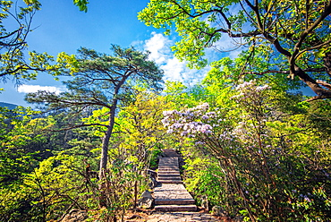 Stone steps leading into the lush natural environment with trees and blossoms of Tian Mu Shan (Eyes of Heaven Mountain), Zhejiang, China, Asia