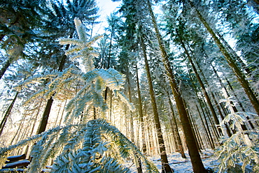 Setting sun illuminating the frozen forest of Koenigstuhl mountain (Kings Chair), Heidelberg, Baden-Wurttemberg, Germany, Europe