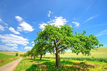 Row of apple trees in Kraichgau region, Baden-Wurttemberg, Germany, Europe