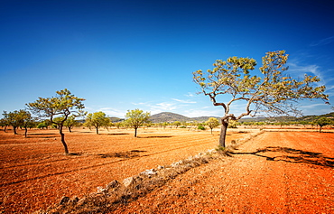 Agriculture on red clay soil, on the island of Ibiza, Balearic Islands, Spain, Mediterranean, Europe