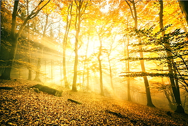 Otherworldly golden light rays permeating dense mist in a forest, Heidelberg area, Baden-Wurttemberg, Germany, Europe