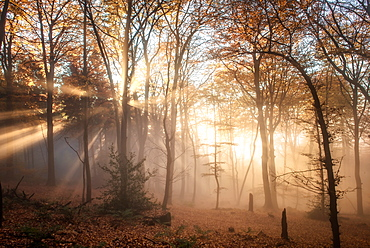 Pronounced sun rays in a misty forest scene, Heidelberg area, Baden-Wurttemberg, Germany, Europe