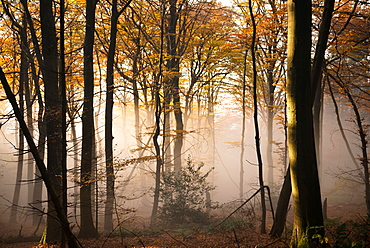 Ascending fog bank mixing in with warm afternoon sunlight in a forest, Heidelberg area, Baden-Wurttemberg, Germany, Europe
