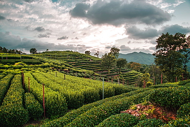 Longjing Tea fields in the hills near West Lake, Hangzhou, Zhejiang, China, Asia - 1171-286