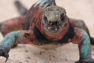 Iguana, Galapagos, Ecuador