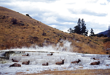 Group of Mooses Laying Down on Ice Formation