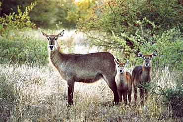 Three Deer Standing in Meadow
