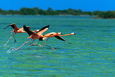 Flamingoes on Water