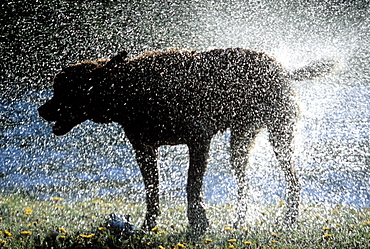 Wet Dog Shaking Off Excess Water