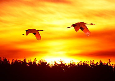 Japanese Cranes Flying in Mid-Air