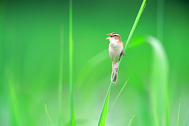 Small Bird Perched on Grass Blade