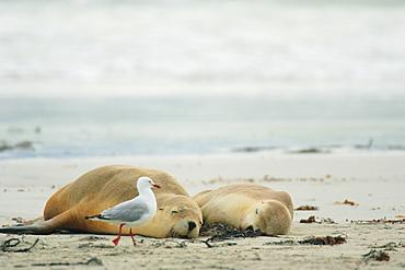 Australia Sea Lion