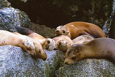 Californian Sea Lion