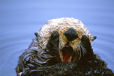 Californian Sea Otter