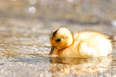 Baby Of A Duck