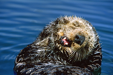 Californian Sea Otter