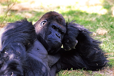 Gorilla Laying Down