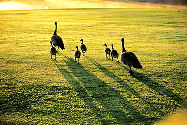 Geese with Goslings Walking