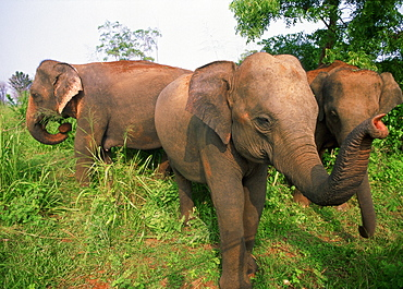 Herd of Indian Elephants walking in savanna