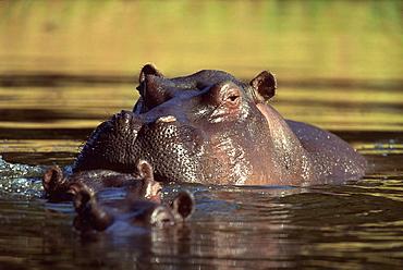 Hippopotamus bathing