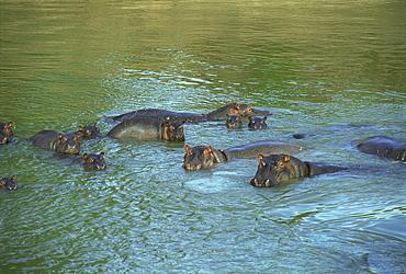 Bloat of Hippos bathing