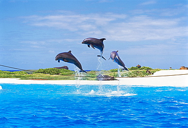 Dolphins jumping at Sea Life Park in Oahu, Hawaii